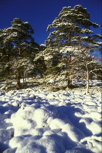 scots pine snow
