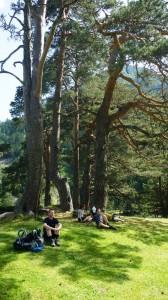 Marcadau Scots pine