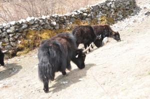 yak in langtang
