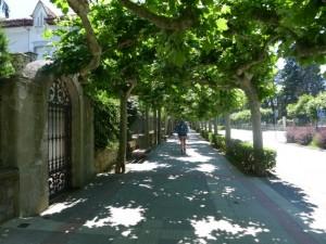 Avenue_trees_Camino
